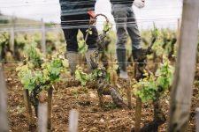 Tutoraggio in vigna | Domaine Leroy | Clos de Vougeot | Bourgogne