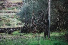Alberello | Planeta | Passopisciaro | Sicilia | Italy