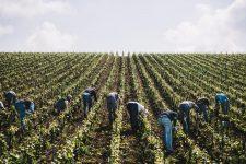 Tutoraggio in vigna | Vallée de la Marne | Champagne
