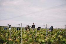 Tutoraggio in vigna | La Montaigne de Reims | Champagne