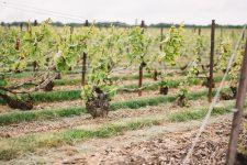 Chablis | Côte des Blancs | Champagne