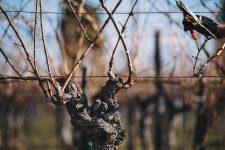 Guyot 40 anni | Schiopetto | Collio | Friuli Venezia Giulia