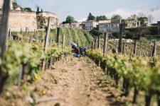 Tutoraggio in vigna | Château Ausone | Saint Émilion | Bordeaux