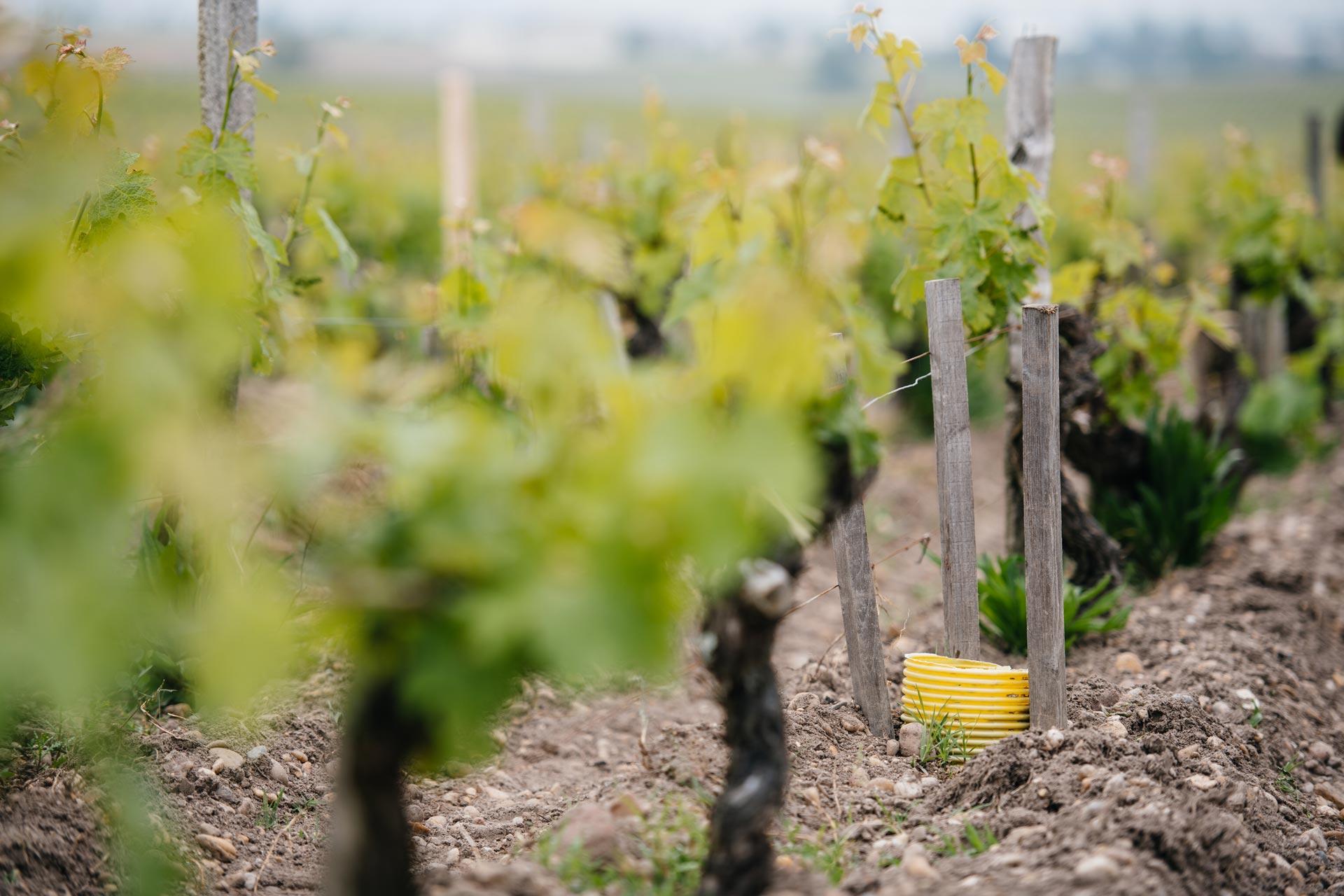 Innesto a spacco | Château Pontet-Canet | Pauillac | Bordeaux