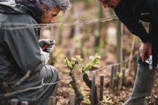 Tutoraggio in vigna | Domaine Leroy | Romanée-Saint-Vivant | Bourgogne