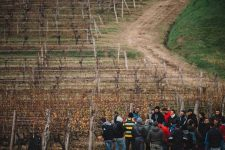Tutoraggio in vigna | Schiopetto | Capriva del Friuli | Collio | Friuli Venezia Giulia