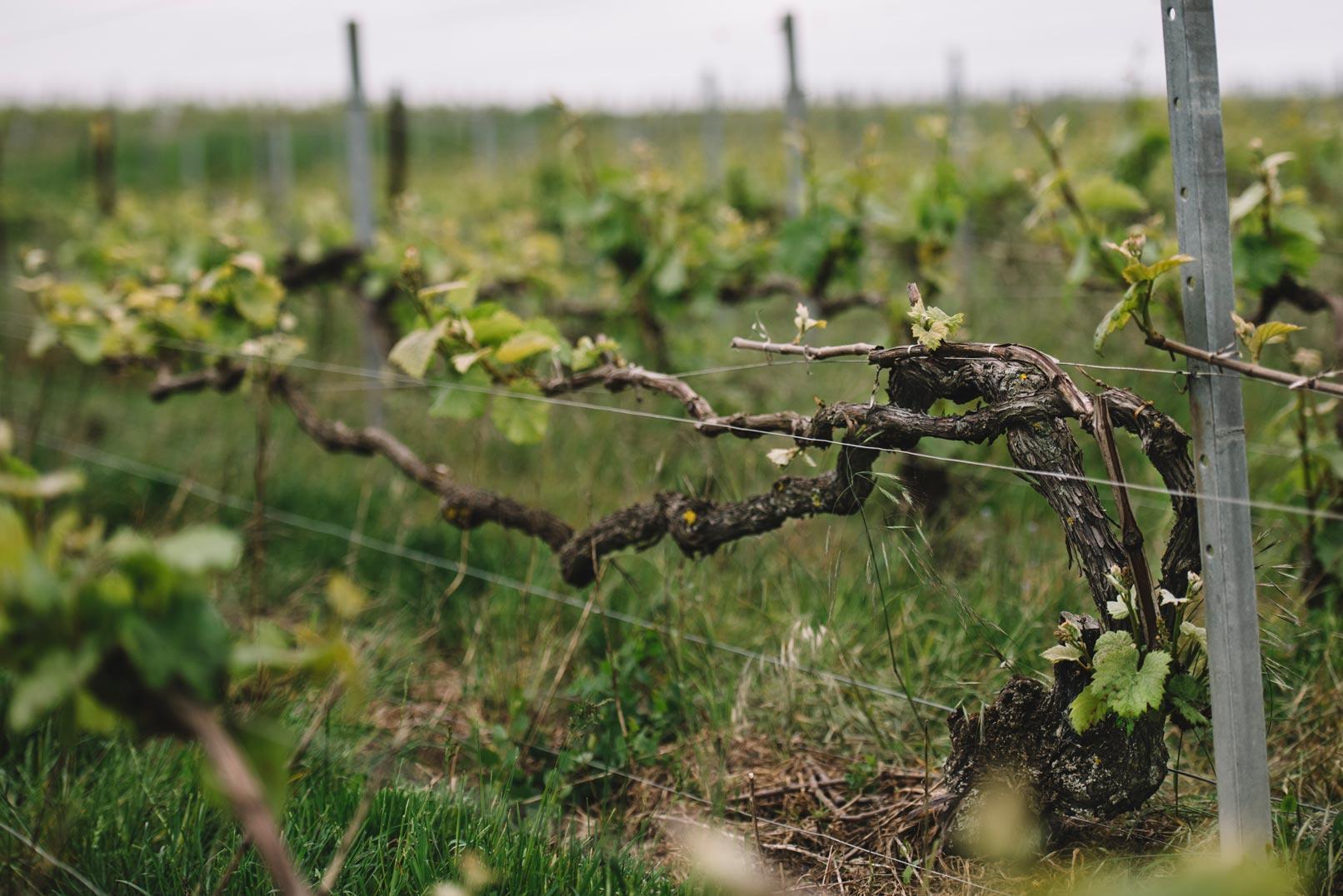 Chablis | La Montaigne de Reims | Champagne