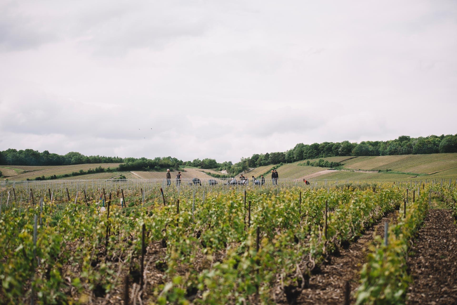 Tutoraggio in vigna | Côte des Blancs | Champagne