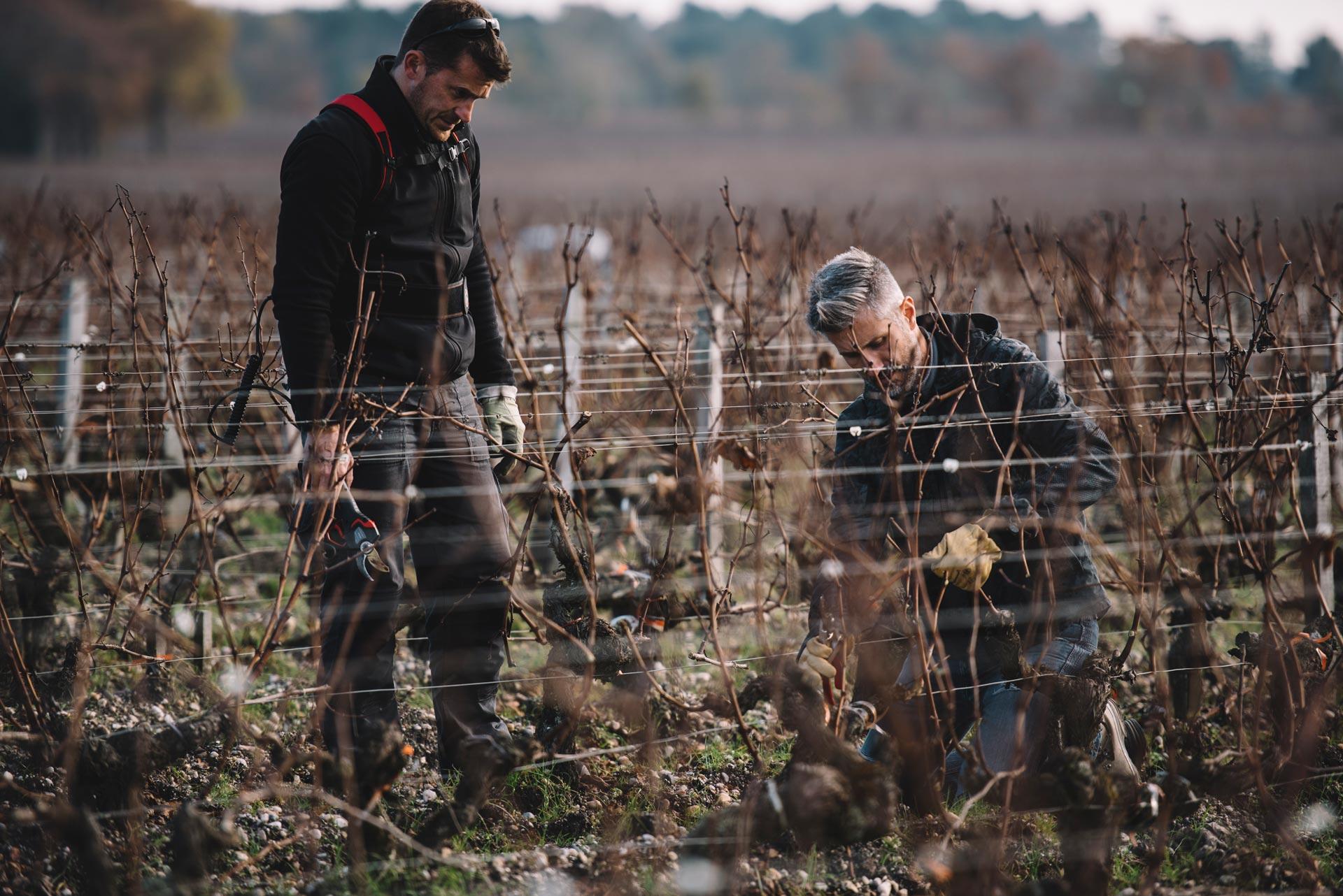Tutoraggio in vigna | Château Haut-Bailly | Bordeaux | Pessac