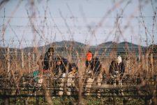 Tutoraggio in vigna | Ornellaia | Bolgheri | Toscana
