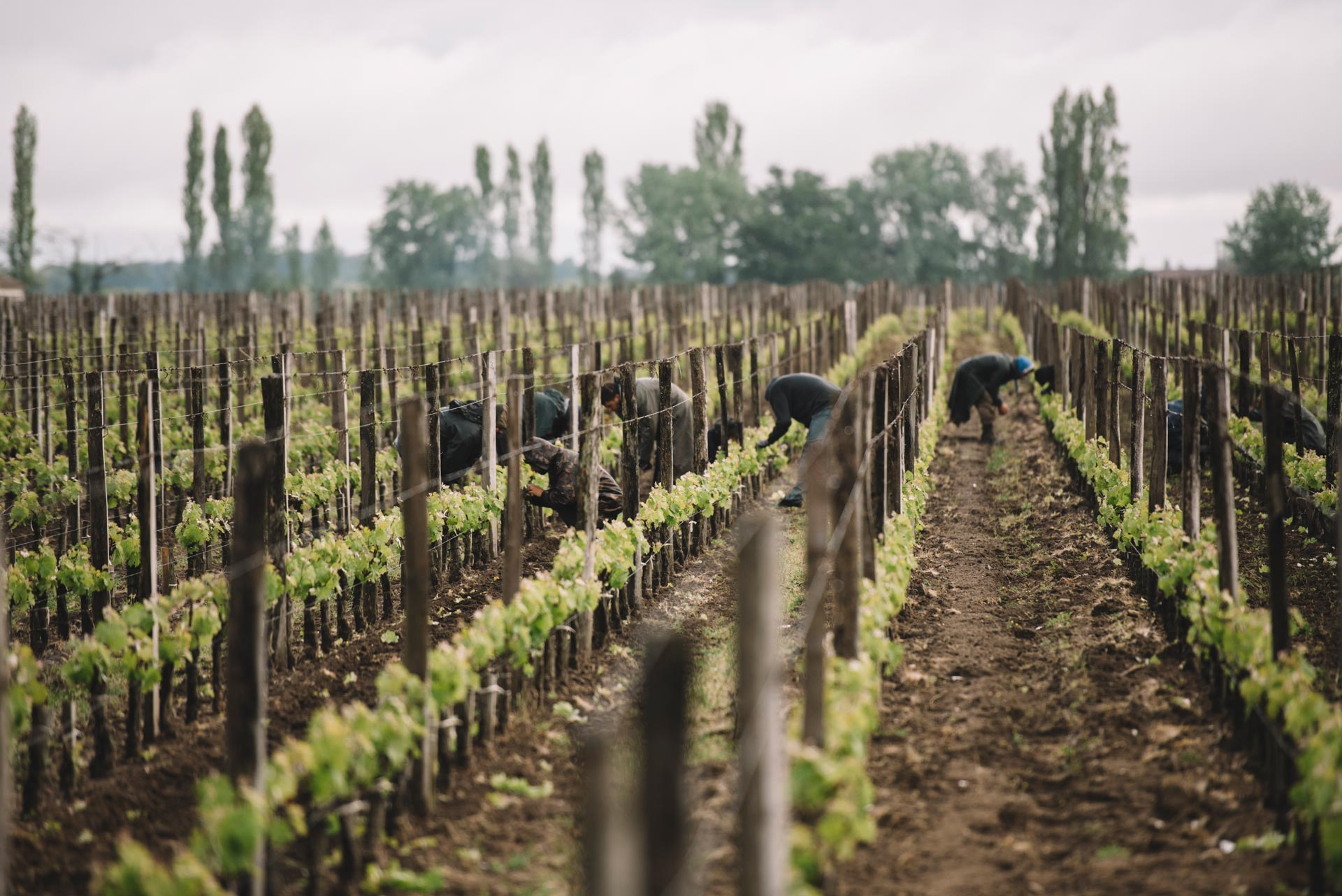 Tutoraggio in vigna | Château Yon-Figeac | Saint Émilion | Bordeaux