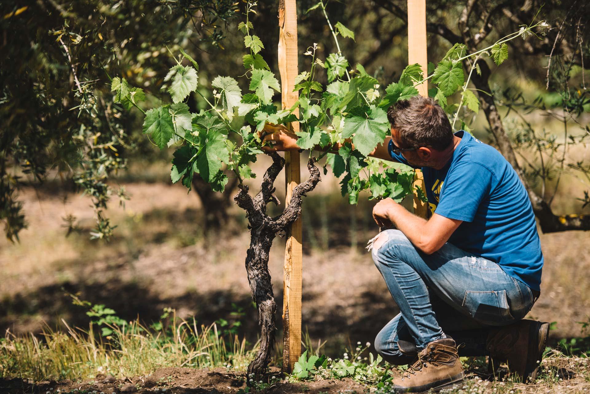 Formazione in vigna | Planeta | Passopisciaro | Etna | Sicilia | Italy