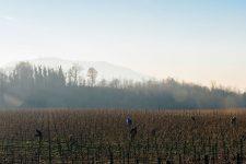 Tutoraggio in vigna | Ca del Bosco | Franciacorta