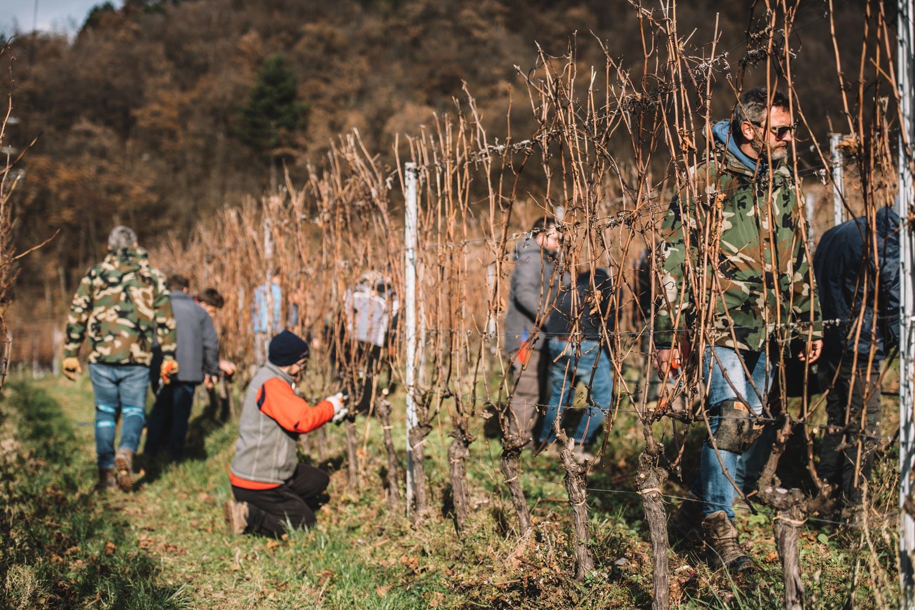 Formazione alla potatura invernale del Guyot | Ferrari | Trento
